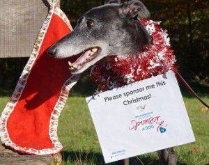 Sponsor a greyhound this Christmas with Greyhound Rescue West of England