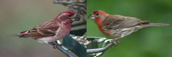 Purple Finch vs. House FInch | Our Feathered Friends ...