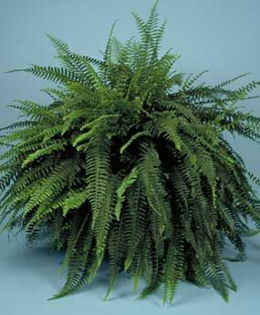What To Do With Boston Ferns In Winter