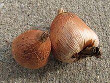Gladiolus murielae - Bulbos - Wikipedia, la enciclopedia libre