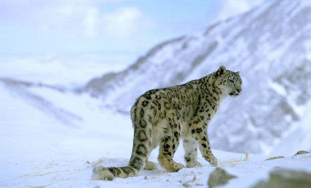 Snow Leopards May Soon Vanish, Thanks In Part To Climate Change