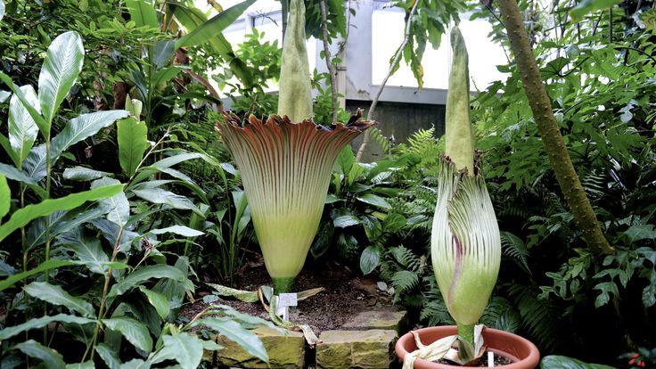 Titanenwurz | Frankfurt | Palmengarten || ~ Die größte Blume der Welt sieht hübsch aus, hat aber eine ganz besondere Eigenart:Nase zuhalten. Es stinkt!