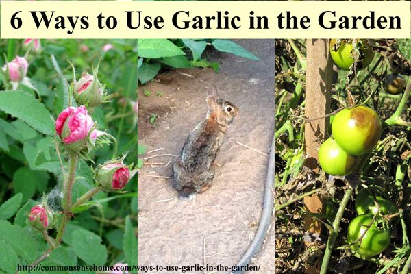 6 ways to use garlic in the garden and yard gardens trees and tomatoes - Surprising uses for garlic ...