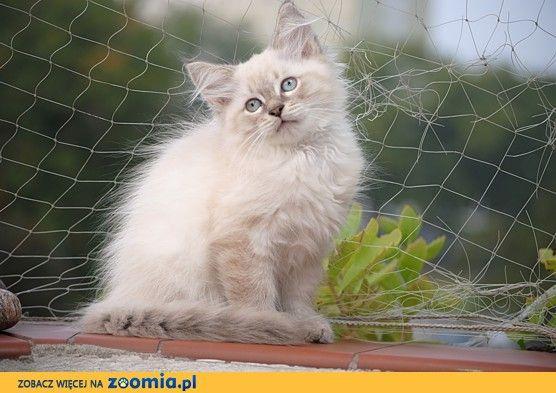 Kot Neva Masquarad http://zoomia.pl/oferty/koty/