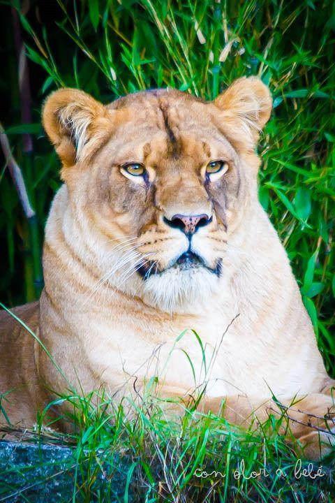 Uno de las dos leonas que residen en VigoZoo, Agosto'14