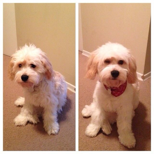 cockapoo groom before and after - Google Search