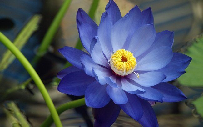 Blue Lotus Benefits, Side-effects & How to Use?