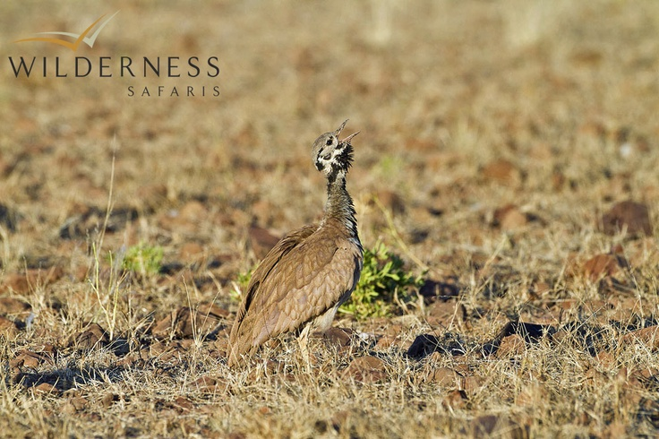 Desert Rhino Camp - Other regular endemics include Rüppell's Korhaan, Benguela Long-billed Lark and possibly Herero Chat with some focused searching. Verreauxs' Eagle is often sighted around rocky hillsides. #Safari #Africa #Namibia #WildernessSafaris