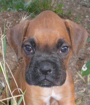 imagenes de perros boxer - Buscar con Google