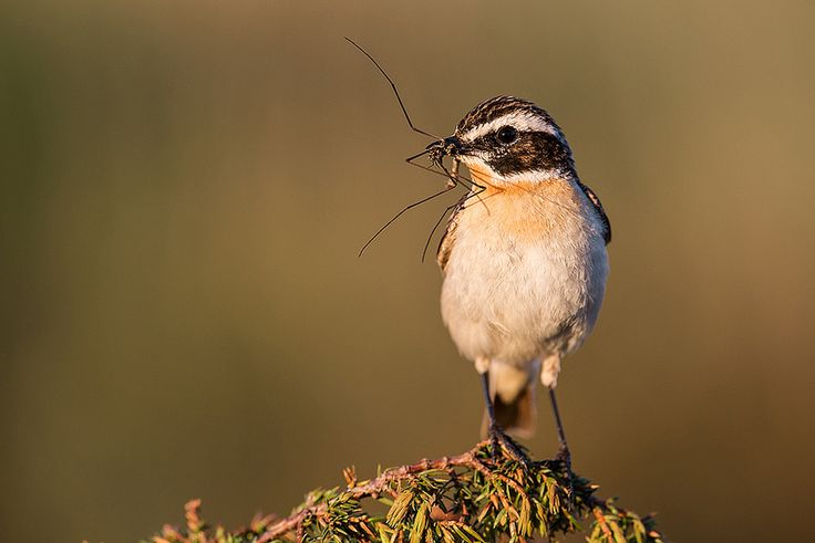 Whinchat, Norway | by janmangorfagerland