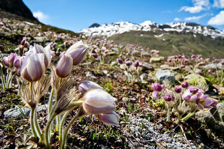 In Val Viola, Altavalle #Valtellina la #primavera in tutta la bellezza della fioritura di un anemone.