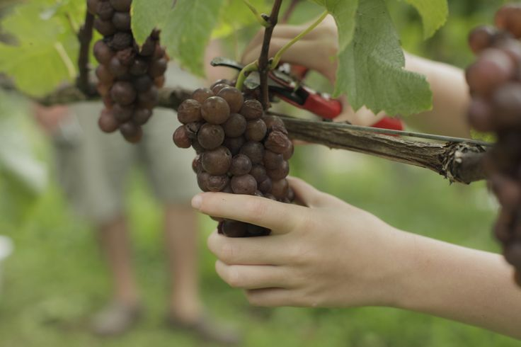 A crucial moment: hand picking. An art of its own, mastered from our capable winemaker Herb. Waiheke Island