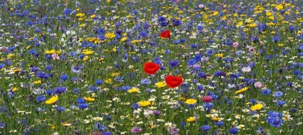 A Wildflower Meadow is such a beautiful and special place for us and for insects such as bees and butterflies too.