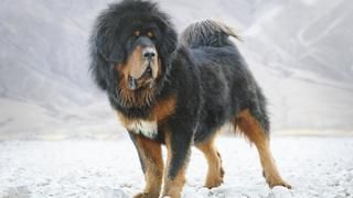 What is a Mongolian mastiff?