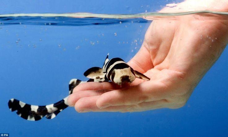 Bamboo Cat Shark (Saltwater- Social Predator)