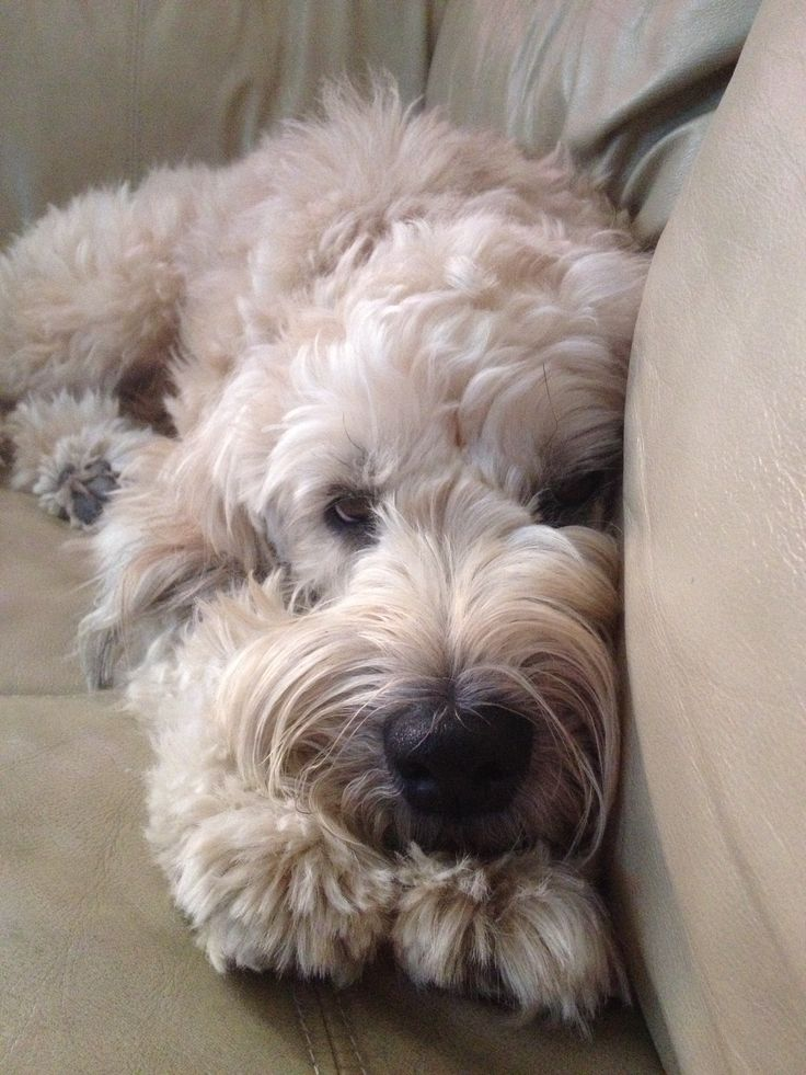 81 best Wheaten terrier mix images on Pinterest | Terrier ...