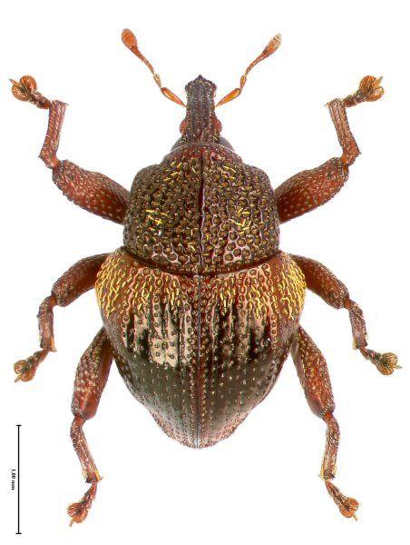 Diesen Rüsselkäfer fanden die Forscher unter Warzeneiben. Ob sich Trigonopterus...