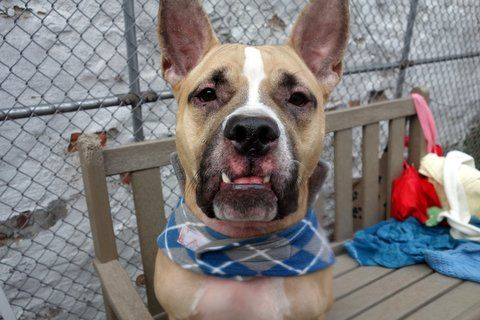 """ASHBY - A1099137 - - Manhattan  Please Share:TO BE DESTROYED 12/30/16:   A volunteer writes: Hands down, Ashby won my """"best face"""" of the day award. He has the best, most expressive, cutest, seriously funny, and funny serious face ever. His little tongue sticks out sometimes, and sometimes his lip gets caught in a slightly snaggle tooth, and his face is strong and handsome, and you'd never know there's a huge mushball of love under there. Eager for a"""