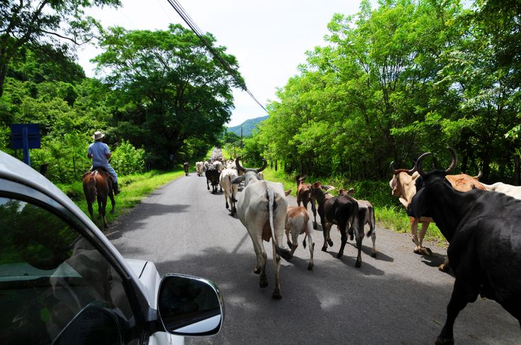 Rush Hour in Costa Rica! 500 cows moving from one farm to another in Playa Tambor.
