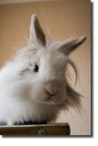 Google Image Result for http://www.rabbit-breeds.net/images/lionhead_rabbits.jpg