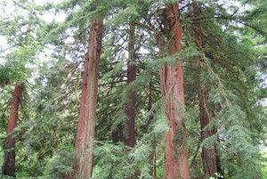 Coast Redwood Seeds (Sequoia sempervirens) + FREE Bonus 6 Variety Seed Pack - a $30 Value!