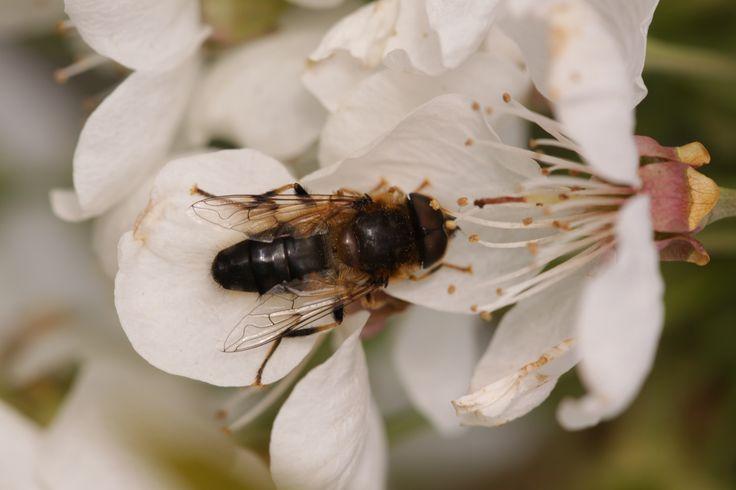2014 04 15 bijensoort