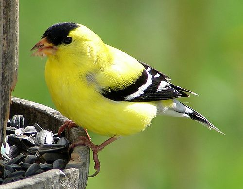 Yellow Finch~enjoyed my sunflowers this beautiful Sunday morning!