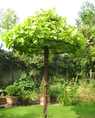 The Vine Tree /  Covered in foliage, this vine support could be mistaken for a tree. /  Plant a vine and enjoy grapes from your own 'Vine Tree'. / Alternatively cover with scented roses, wisteria or Honeysuckle. / The Vine Tree after three years growth...