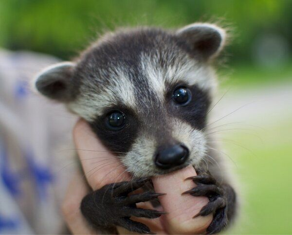 This baby raccoon is adorable