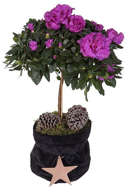 Oppstammet lilla Azalea i sort grow in med pynt fra Mestergrønn. Om denne nettbutikken: http://nettbutikknytt.no/mestergronn-no/