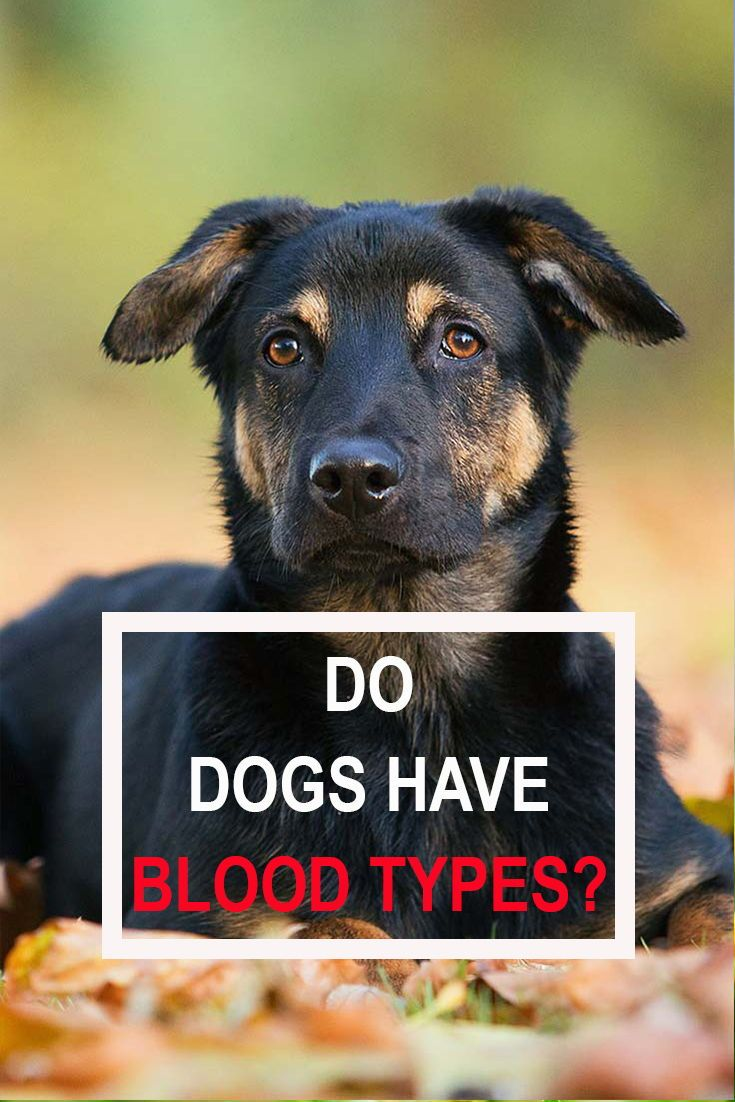 Dogs Do Have Blood Types But They Are Different From Human Blood
