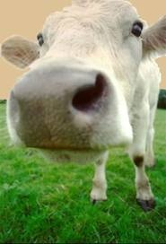 Lehmät laitumella