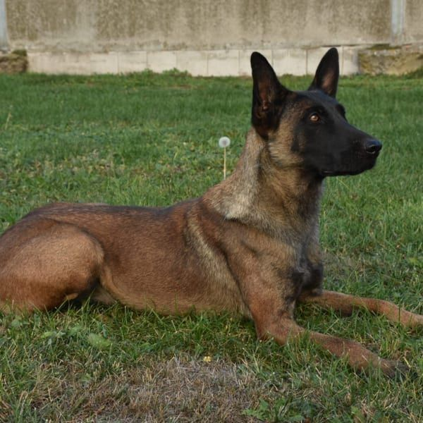 Trained Family Protection Dogs For Sale Scott S Police K9 Malinois Dog Family Protection Dogs Belgian Malinois