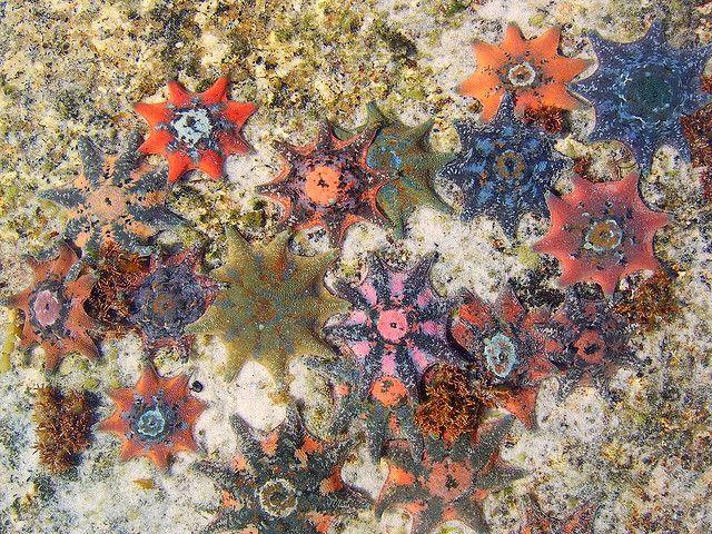 Starfish - the bay of fires - tasmania - australia