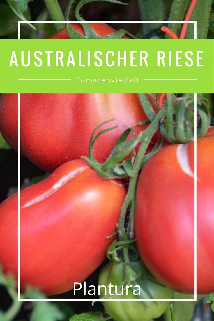 Weltweit existieren Schätzungen zu folge etwa 35.000 verschiedene Tomatensorten.