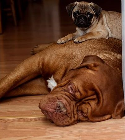 This sums up their temperament to a tee. Pug & Dogue de Bordeaux