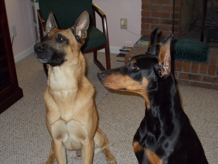 Bacci And Risa..Belgium Malinois And Doberman..
