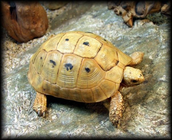 Golden Greek Tortoise - Scales 'N Tails