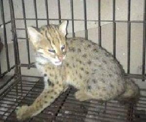 My Paralyzed Asian Leopard Cat