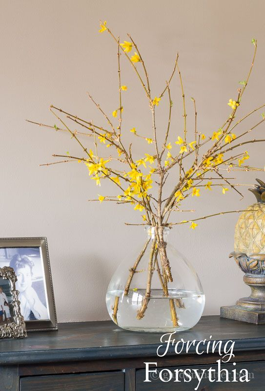 Bring in some early spring flowers by forcing branches inside the home. Shrubs are the easiest, especially forsythia, although flowering trees work too.
