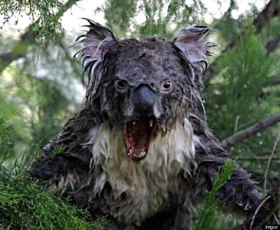 Scary Koala Goes Viral | Don't Believe Everything You Hear ...