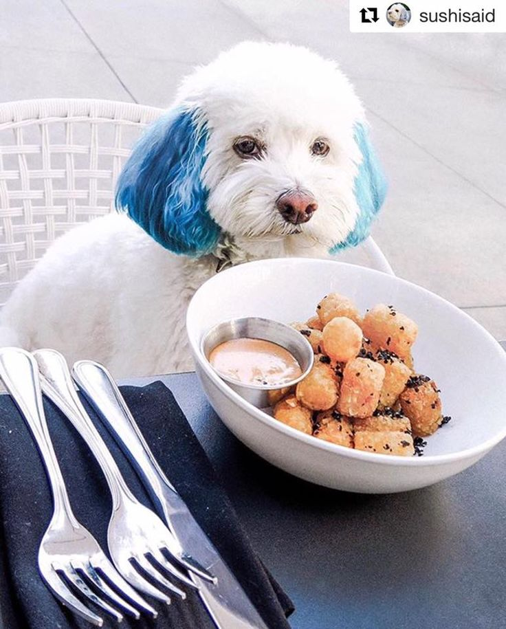 She is a little star on Internet with the #stylish look done by OPAWZ Innocent #blue. Just one bright #color, simple but makes your dog stands out of the people!  Come to choose the colors you love at www.opawz.com #opawz #doghairdyes #grooming #groomingmemphis #dogcolors #dog #doglovers