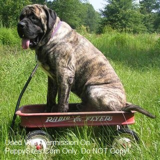 Someday we will get an American Mastiff...