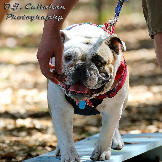 Is Your French Bulldog Driving You Crazy Remove All The Stress Of Owning A French Bulldog Dog Behaviour Breakthrough Click The L Dogs French Bulldog Dog Behavior