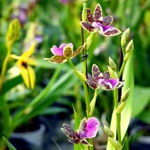 #Zygopetalum sellowii, one of my favourite #orchids ... seems like #butterflies #orchidea #legeorgiche #venditapianteonline