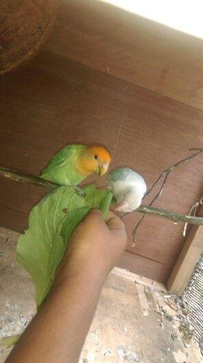 My lovebirds
