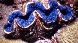 Marine World Heritage Sites  Giant Clam?!