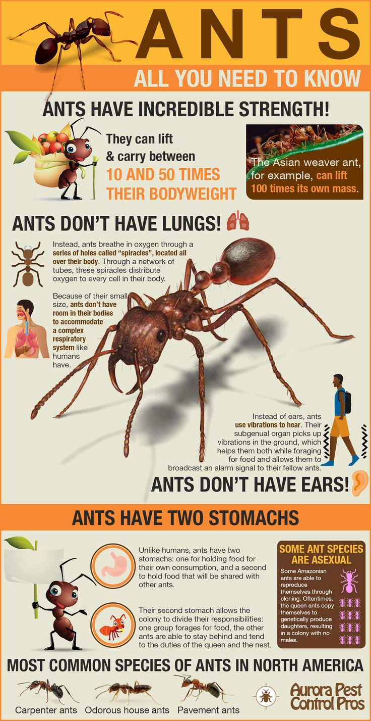 Ants are amazing creatures, and we can learn a lot from them. For instance, they can lift between 10 and 50 times their bodyweight! For homeowners with ant problems, it's important to understand who you're up against. The infographic describes unbelievable facts about ants and their capabilities. Unlike humans, ants have two stomachs: one for holding food for their own consumption, and a second to hold food that will be shared with other ants. #infographic