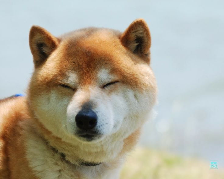 Best 犬っこ Images On Pinterest Shiba Inu Doggies And Dog Breeds - Three shiba inus stick their heads through wall to greet passers by