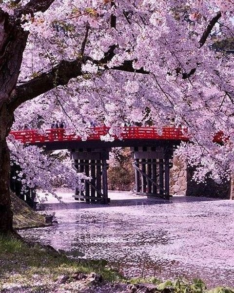 Hirosaki Castle (Hirosaki Park) Aomori. ❤️ . . . .  #japan #japón #japon #nippon #igers #instadaily #instatravel #travel #photography #photo #picoftheday #landscape # #photographer #日本 #instagood #素敵 #jco #japancommunity #visitjapan #amazing #traveling #travelphotography #travelgram #sakura #cherryblossom #cherryblossoms #hanami